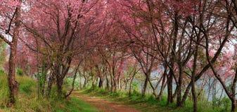 Sakura rosa färg blommar in, Thailand, körsbärsröd blomning fotografering för bildbyråer
