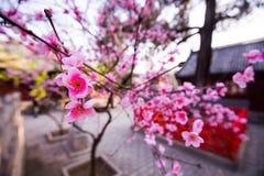 Sakura rosa färger blommar närbild i chineese eller japaneese trädgård fotografering för bildbyråer