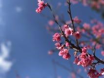 sakura rosa tigerblomma som blommar Doi Ang Khang Arkivfoto