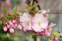 Sakura rosado foto de archivo libre de regalías