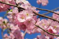 Sakura rosado imagenes de archivo