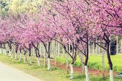 Sakura rosado con el camino hermoso Doi Ang Khang Imagen de archivo libre de regalías