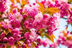 Sakura rosado con verde y amarillo se va contra backgr del cielo azul Foto de archivo libre de regalías