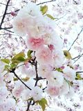 Sakura rosado dulce Imagenes de archivo