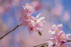 Sakura rosado florece el flor (de la cereza) en Taiwán Imagenes de archivo