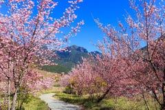 Sakura rosado florece el flor (de la cereza) en Taiwán Fotos de archivo