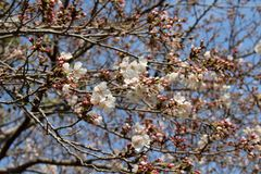 Sakura rosado que florece durante el comienzo de la estaci?n de primavera imagen de archivo