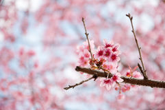 Sakura rose Photographie stock libre de droits