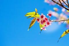 Sakura rose Photos libres de droits