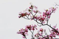 Sakura rose Image libre de droits