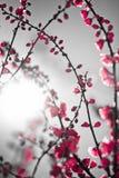 Sakura rosso Fotografie Stock Libere da Diritti