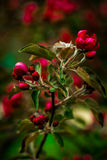 Sakura rosso Immagine Stock