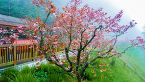 Sakura rouge Photographie stock libre de droits