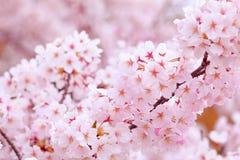 Sakura in roze Stock Afbeelding