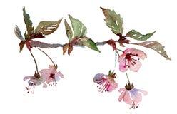Sakura rozgałęzia się, czereśniowy okwitnięcie z różowymi kwiatami ilustracji