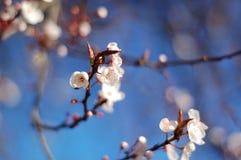 Sakura Saku Imagens de Stock