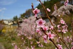 Sakura Sakura Royaltyfria Foton