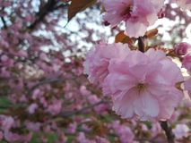 Sakura stock photography