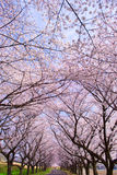 Sakura season #25 stock image