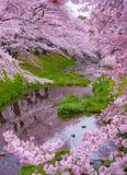 Sakura Season. Down by the river of Tachikawa, Tokyo, Japan. Celebrating the Sakura blossoms Royalty Free Stock Photography