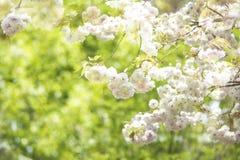 Sakura season in Kyoto, Japan Royalty Free Stock Photo
