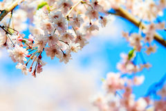 Sakura season in Kyoto, Japan Royalty Free Stock Photography
