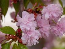 Άνθη κερασιών γνωστός ως ιαπωνικό κεράσι, sakura ή serrulata Prunus στοκ φωτογραφία με δικαίωμα ελεύθερης χρήσης