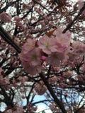 Sakura sezon 1 Obrazy Stock