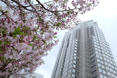 Sakura at shinjuku metropolitan government building observatory Stock Photography