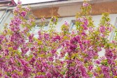 Sakura si ramifica nel periodo di fioritura su una via della città Fotografia Stock