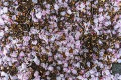 Sakura sidor och smuts Arkivfoton