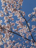 Sakura In the Sky. Cherry blossom is an omen of good fortune and is also an emblem of love, affection and represents spring in Japan Stock Image