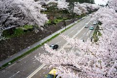 Sakura And Sakura Snow-Storm fotografía de archivo