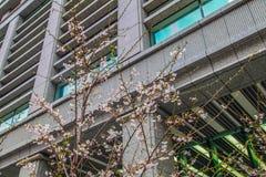 Sakura sobre a construção no Tóquio Japão o 31 de março de 2017   Estação de mola da flor de cerejeira como a fotografia da rua Imagens de Stock Royalty Free