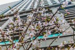 Sakura sobre a construção no Tóquio Japão o 31 de março de 2017   Estação de mola da flor de cerejeira como a fotografia da rua Foto de Stock Royalty Free