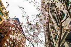 Sakura sobre a construção no Tóquio Japão o 31 de março de 2017   Estação de mola da flor de cerejeira como a fotografia da rua Fotos de Stock Royalty Free