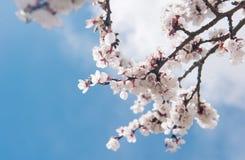 Sakura sobre o céu azul na cidade do leh Imagem de Stock Royalty Free