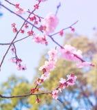 Sakura Soft Focus bakgrund Royaltyfria Bilder