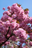Sakura. Spring background. Japanese cherry tree blossom (Prunus serrulata Hisakura Royalty Free Stock Photography