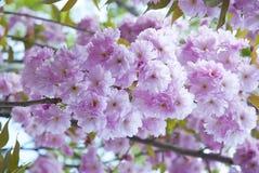Sakura in spring Royalty Free Stock Photography