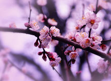 Sakura Spring Blossom Royalty-vrije Stock Afbeelding