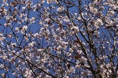 Sakura in the spring Royalty Free Stock Image