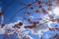 Sakura in spring. Cherry blossom and clear sky in spring season Stock Photos