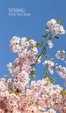 Sakura spring cherry flower branch Royalty Free Stock Images