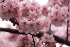 Sakura Spring Royalty Free Stock Photos