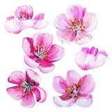 Sakura spring flowers isolated on white. Royalty Free Stock Image