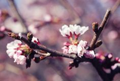 Sakura in the spring garden. Royalty Free Stock Photography