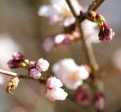 Sakura in the spring garden. Pink flowers. Royalty Free Stock Photos