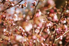 Sakura in the spring garden. Pink flowers. Royalty Free Stock Photography