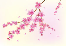 sakura , spring , postcard . Royalty Free Stock Images
